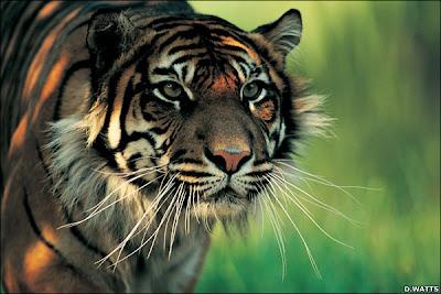 Gambar_harimau_keren