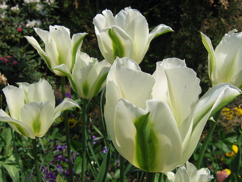 Gambar Bunga Tulip ini diperoleh dari : syaidatun.files.wordpress.com