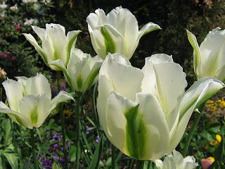 gambar_tulip_belanda