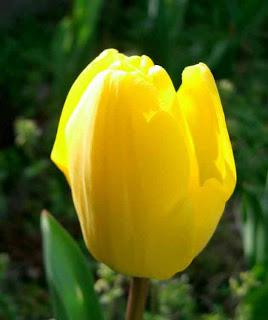 gambar_bunga_tulip_kuning