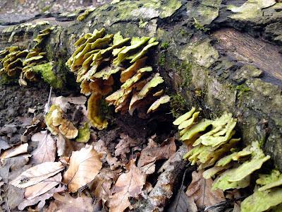 fungus, woods