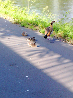 ducks, footpath