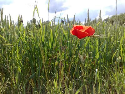 cornfield, poppy