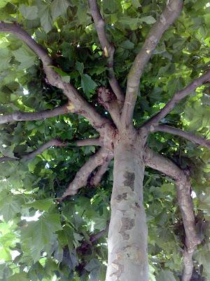 shade, tree, pollard,