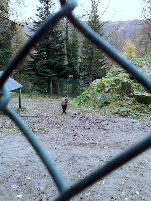 ibex, goat, wildpark
