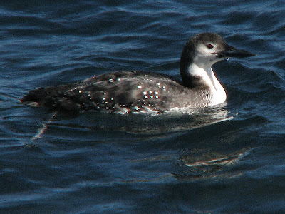 common loon winter. This is what a Common Loon