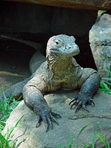 [komodo-dragon.jpg]