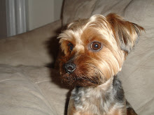 My oh so obedient Yorkie