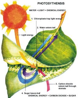 Proses+fotosintesis