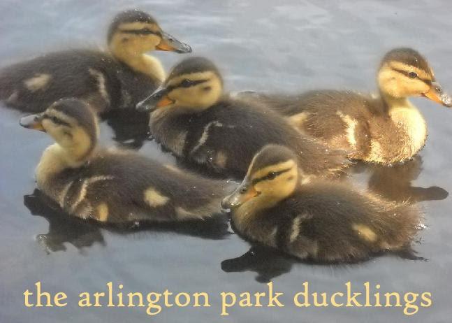 Arlington Park Ducklings
