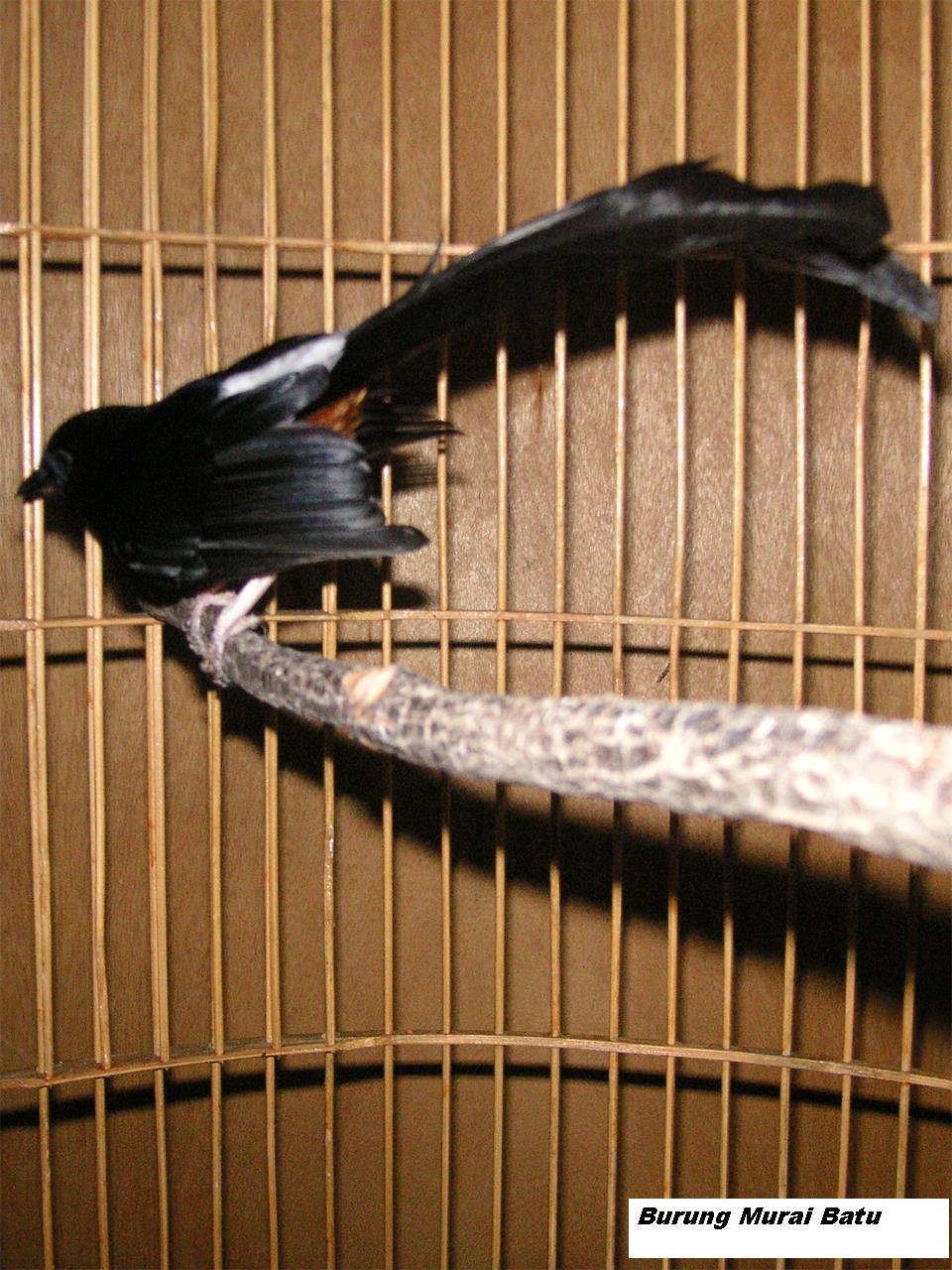 Cara merawat Burung Murai Batu ( How to treat Murai Batu Bird )