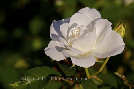 white rose flowers. white rose flowers pictures.