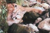 Puma (Felis concolor)