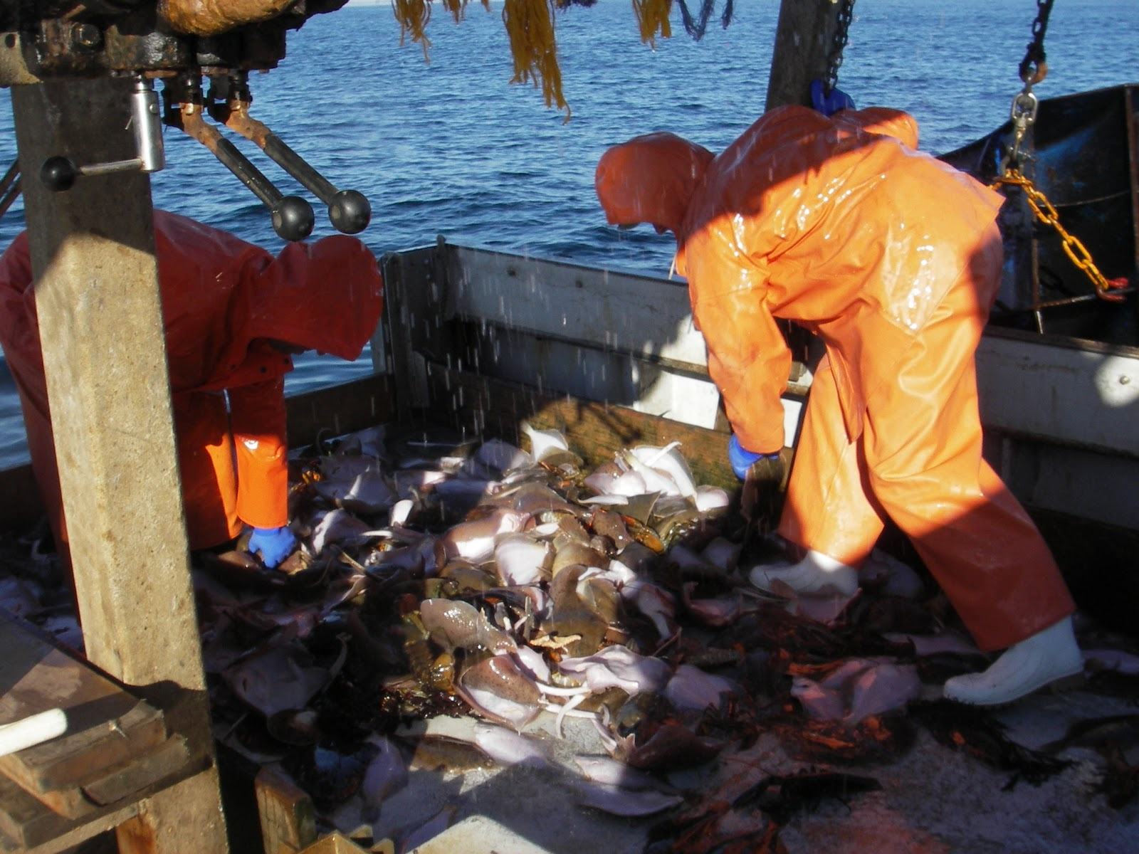 Winter flounder enhancement university of new hampshire for Winter flounder fishing
