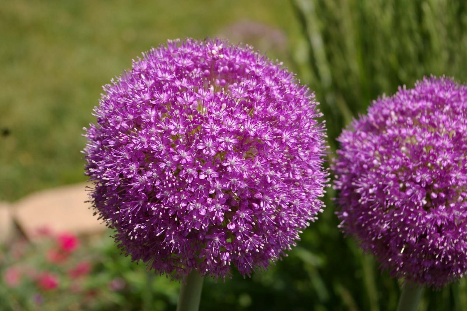 Allium giganteum aka Giant ion Flora gardens Pinterest