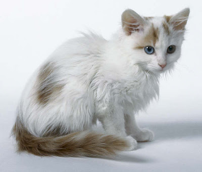 photos of Odd-eyed cat