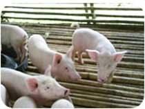 http://1.bp.blogspot.com/_sQPPRn5aZEw/SffCtPeLB_I/AAAAAAAAAfs/KXW59k2jLJw/s320/pigs+farm+conten.jpg