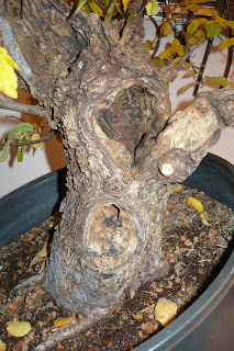 Oklahoma collected winged elm-First work More+carving+winged+elm