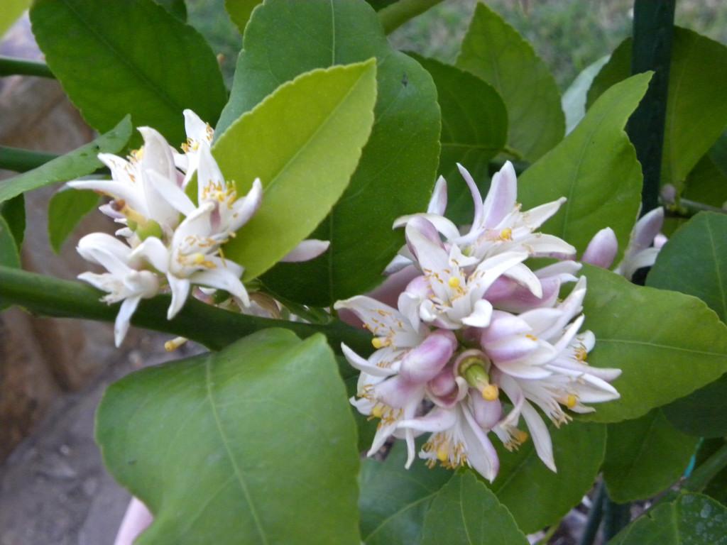 diane u0026 39 s texas garden  meyer lemon tree is full