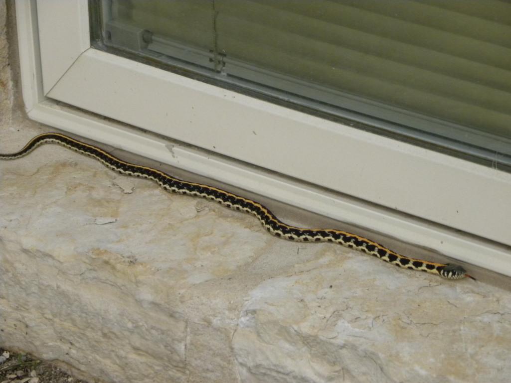 Diane 39 s texas garden lovely garter snake Garden snakes in texas