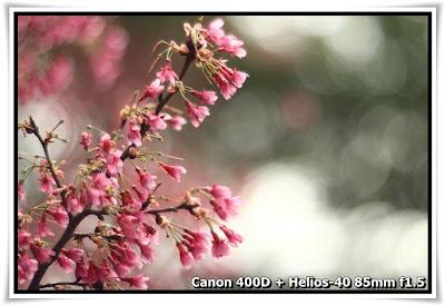 嘉道理農場-鍾花櫻桃