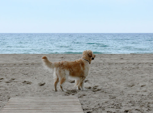 Golden Retriever 2 años 9 meses