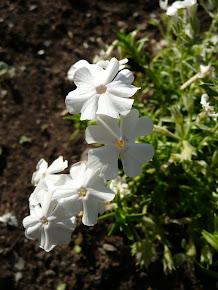 Vårphlox