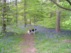 The bluebell walk