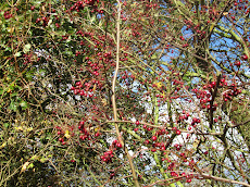 The Hawthorn Berry