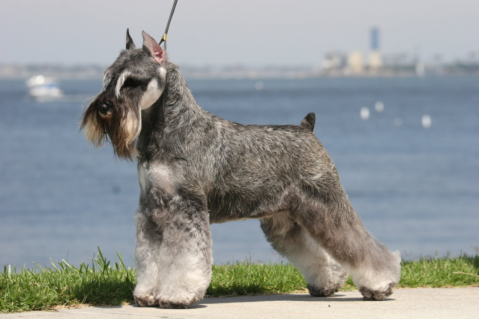 Adult Schnauzer walking with his owner near to the beach