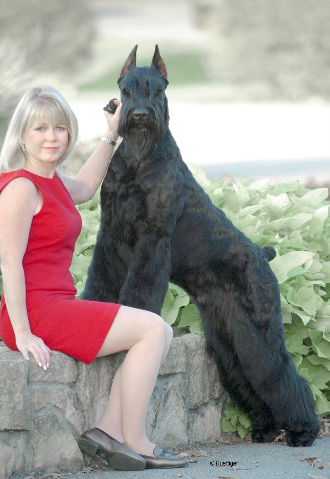 Big Black Giant Schnauzer Dog Picture | Dog Breeds Picture