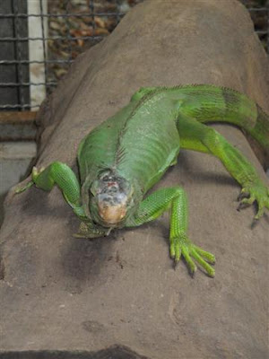 Large green lizard
