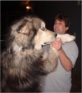 As i say Alaskan Husky are HUGE.