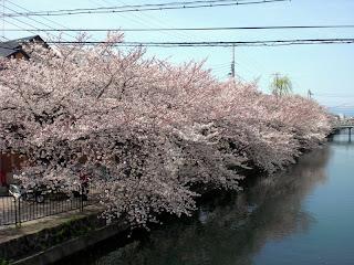 京阪藤森駅の桜並木