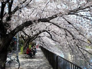 琵琶湖疏水べりの桜トンネル