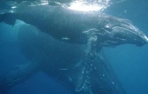 baleia jubarte com filhote