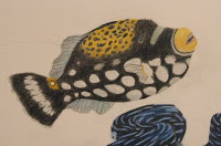 clown triggerfish drawing
