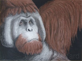 bornean orangutan charcoal and conte pencil drawing
