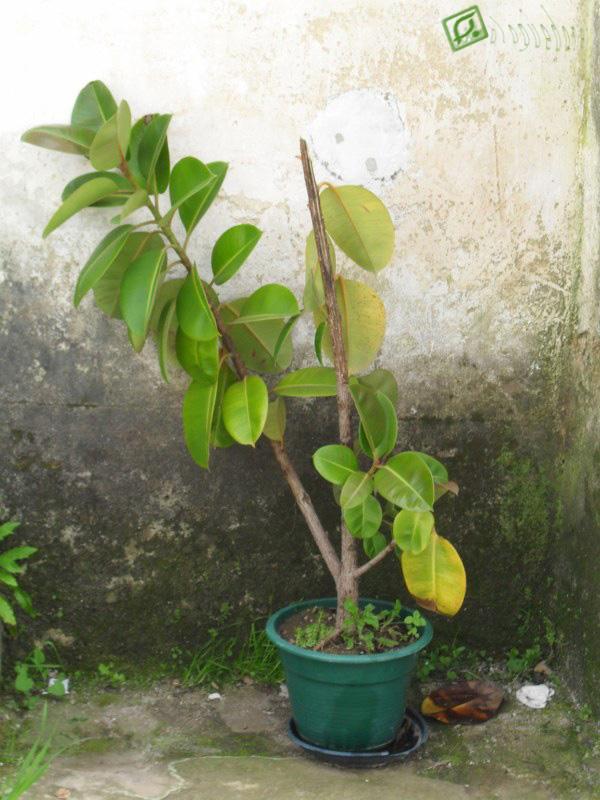 Bloguedoreis fica ficus - Ficus elastica cuidados ...
