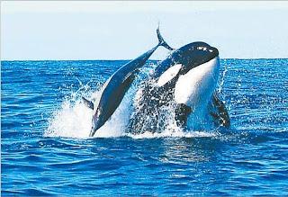 http://1.bp.blogspot.com/_saKQ607KvoI/SDY5VanfqNI/AAAAAAAABWo/68TUvvDrqbM/s320/orca+hunting+dolphin.jpg