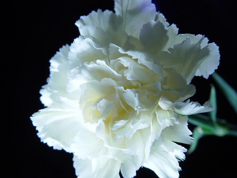 Bridal glamour weddings wedding flowers carnations different factors influence once choice of the flowers they choose for their wedding from colour combination to symbolism to type to price mightylinksfo