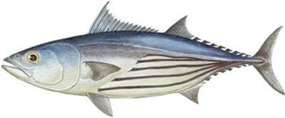 Fish identification skipjack tuna katsuwonus pelamis for Does tuna fish have scales