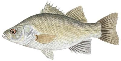 Fish identification white perch morone americana for White perch fish