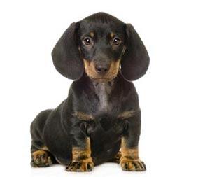 Cane cuccioli bassotto for Bassotto cane