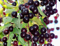 Chokecherry berries
