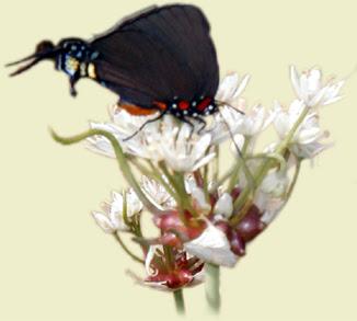 Funky Butterfly