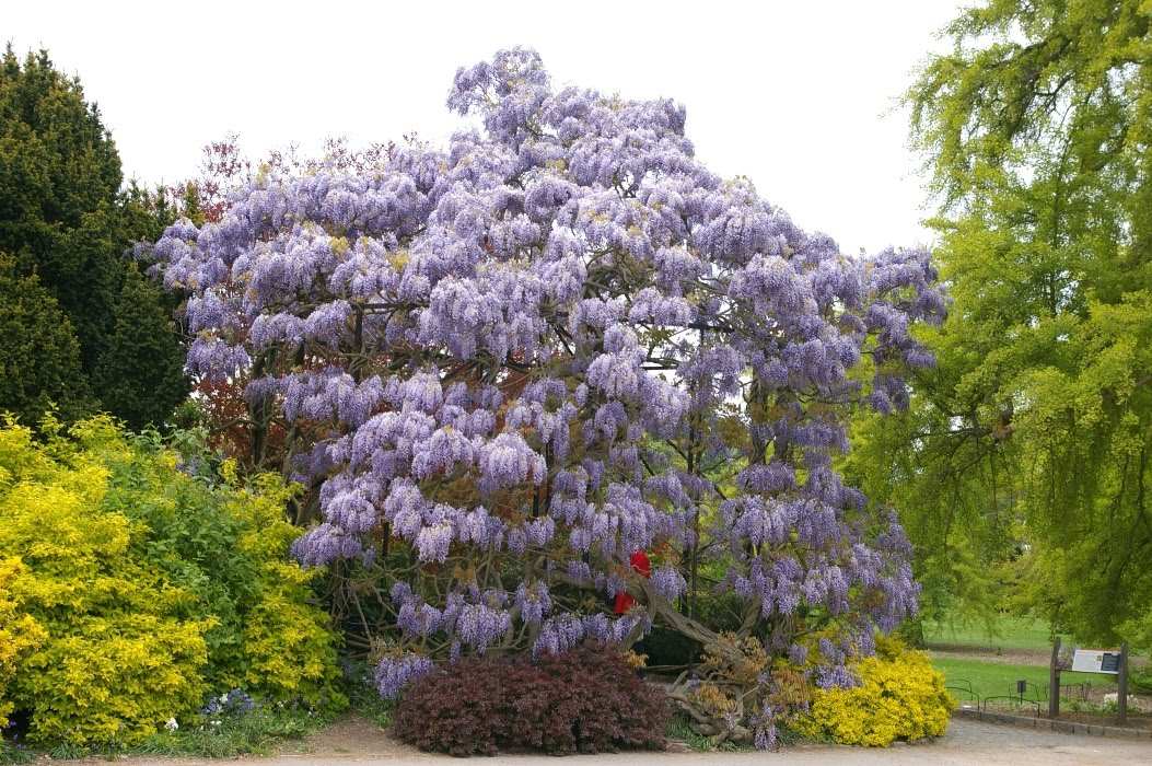 Wisteria Sinesis at Kew Gardens