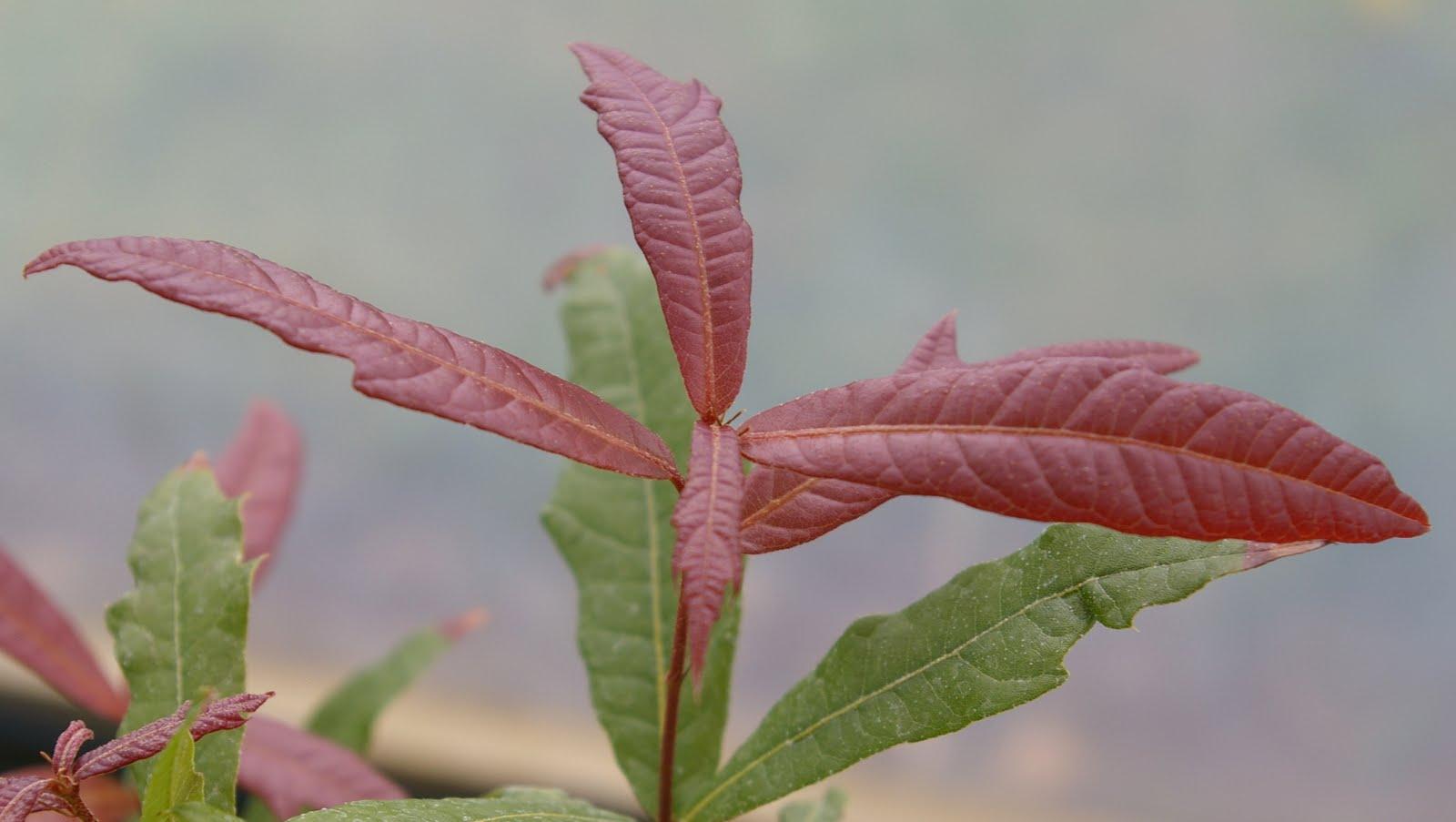 John Grimshaw's Garden Diary: Mexican oaks in the Cotswolds