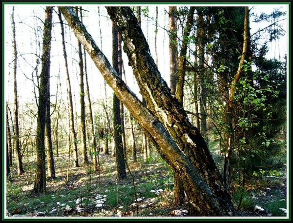 drzewa z duszą