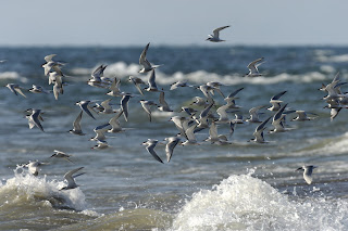 Image of a flock of birds flying over water